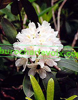 Rhododendron maximales Album