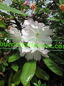 Vzácné rododendrony