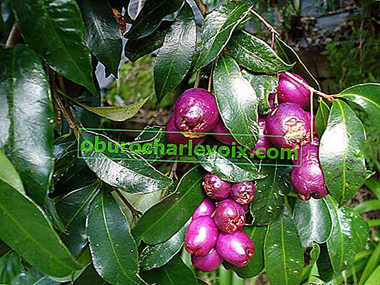 Syzygium Smith - australská rostlina Lilly Pilly
