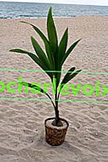 Често задавани въпроси за кокосовото дърво