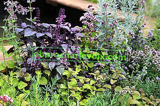 Basilikum für Blumenbeetdekoration