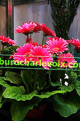 Gerbera Jameson Rose