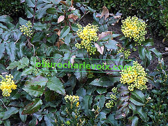 Mahonia holly - e in un bouquet, e nel vino e in medicina