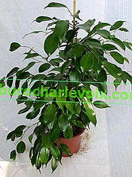 Ficus Benjamin - eine Vielzahl von Sorten und Feinheiten der Pflege