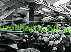 Gartenblaubeeren in der Moskauer Region