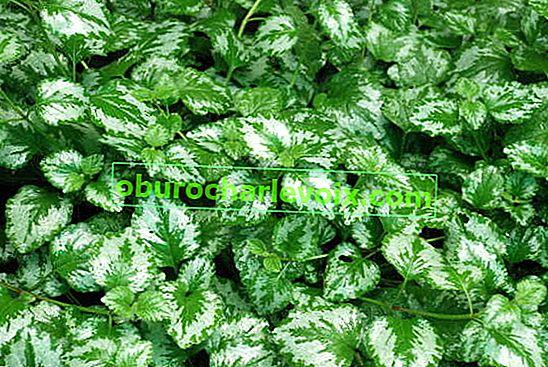 Zelenchuk ist eine Pflanze mit einer seltenen Spezialität