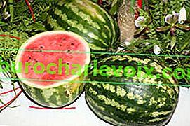Wie man eine Wassermelone in der mittleren Spur anbaut