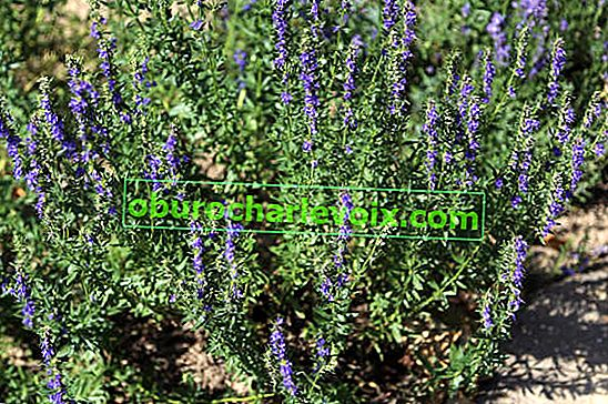 Hyssop officinalis (Hyssopus officinalis)