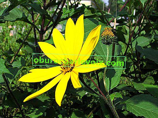 Topinambur: Pflanzen und Wachsen