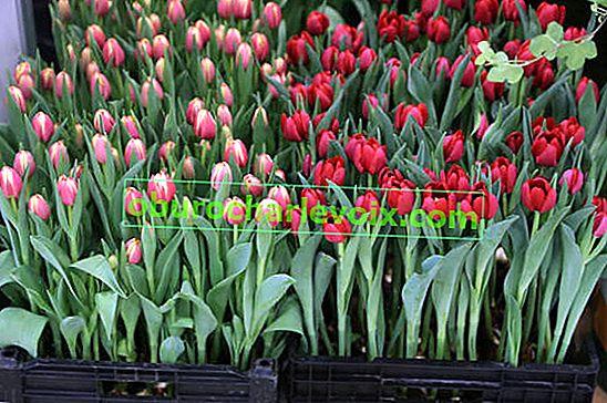 Von Januar bis März Tulpen zwingen