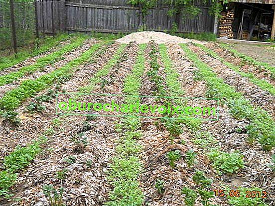 Kartoffeln unter Stroh anbauen