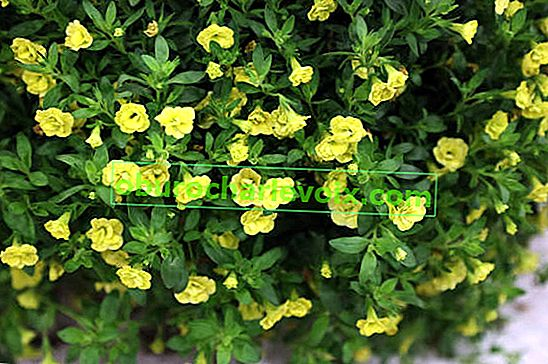 Calibrachoa Calita Double Yellow