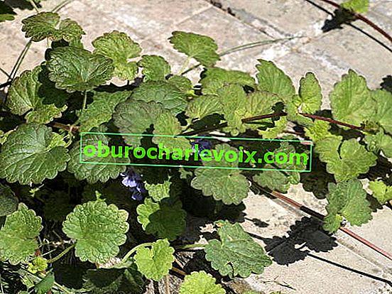 Ivy Budra - vierzigbeiniges Gras