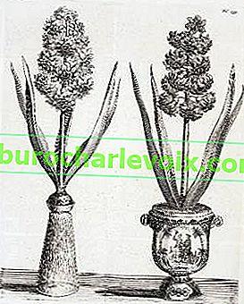 Hyazinthen erzwingen. Zwiebeln vorbereiten und pflanzen