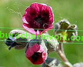 Schwarzwurzelmedizin in der Volksmedizin und im Pflanzenschutz