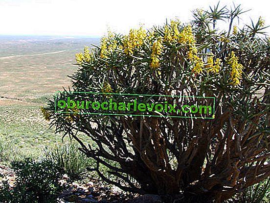 Medizinische Arten von Aloe
