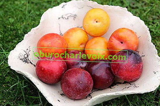 Sharafuga - eine Mischung aus Aprikose, Pflaume und Pfirsich