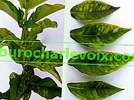 Phlox-Erkrankungen