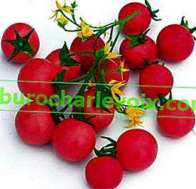 Die besten Sorten und Hybriden von Tomaten