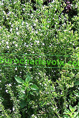 Pikantní zahrada: pěstování a využití