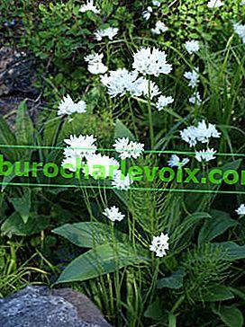 Pěstování divokého česneku ze semen a cibulí