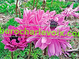 Koruna sasanky: pěstování a reprodukce