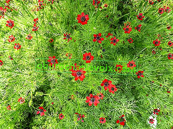 Letní adonis, kvetoucí až do podzimu