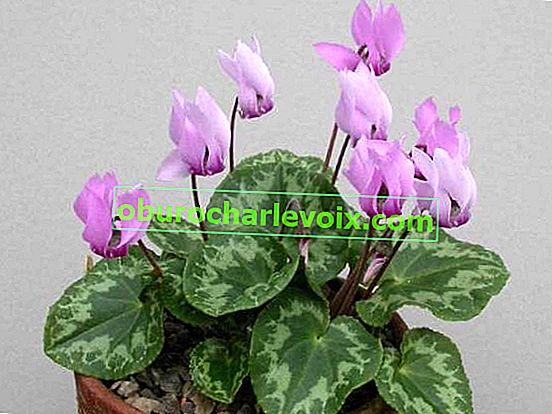 Cyclamen purple (evropský)
