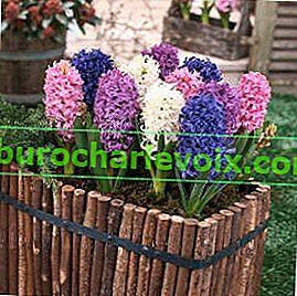 Pěstujeme cibulovité květiny doma, na balkóně, na zahradě