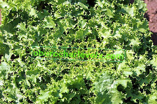 Endivien-Chicorée-Salat: die Feinheiten des Wachstums
