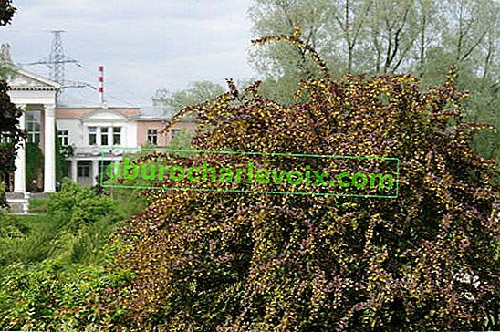Berberitze: Anbau und Fortpflanzung