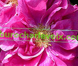 Ätherisches Rosenöl: Eigenschaften und Verwendung