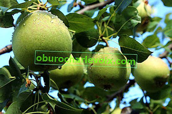 Birnen nach allen Regeln pflanzen