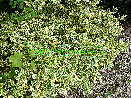 Immergrüner Euonymus: Anbau, Sorten