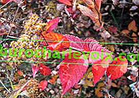 Spirea Bumald Anthony Waterer, Herbstfarbe