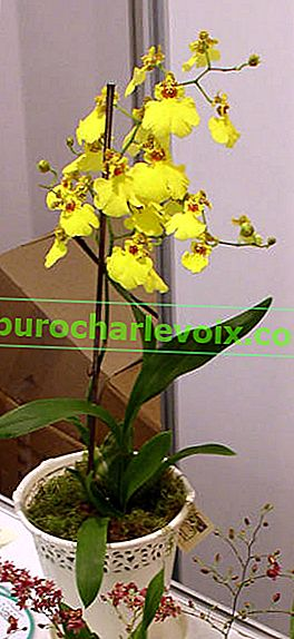 Oncidium Hybrid Sweet Sugar