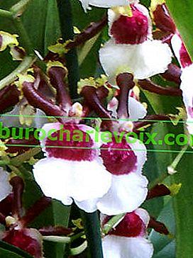 Oncidium: Wenn Sie blühen möchten, gießen Sie es richtig