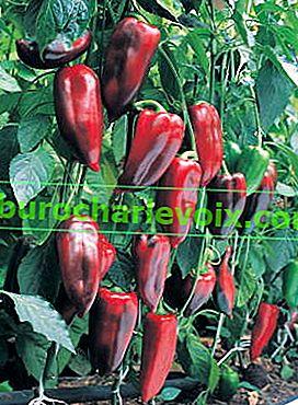 Frühe Paprika: vom Sämling bis zur Ernte