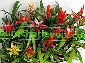 Bromelien: Wachstum, Pflege, Fortpflanzung