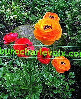 Schwierige Gartenbutterblume - Ranunkel