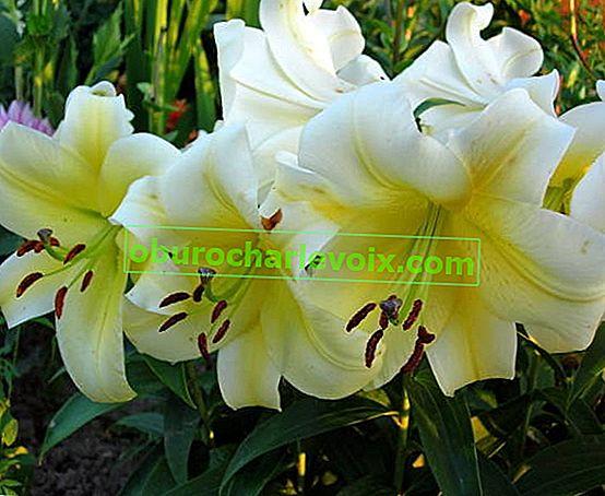 Orientalische Hybriden - Aristokraten in der Welt der Lilien
