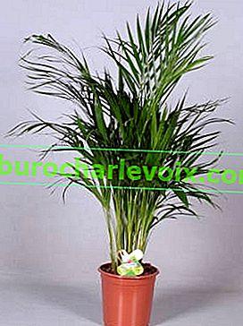 Dipsis oder gelblicher Chrysolidocarpus
