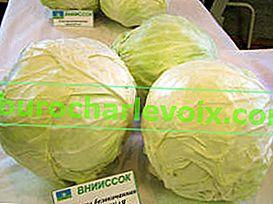 Sorten und Hybriden von Weißkohl