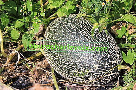Melonen: Sorten und Hybriden
