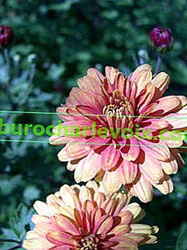 Korejská chryzantéma: pěstování a nové odrůdy