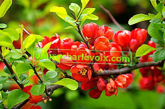 Chaenomeles jako ovocná plodina