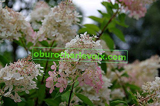Hydrangea paniculata: Sorten, Anbau, Schnitt