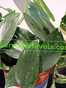 Philodendron guttiferum Cobra