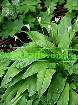 Ramson: полезни и лечебни свойства