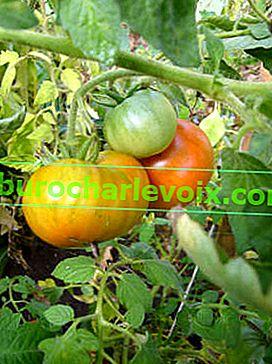 Wie man die Reifung von Tomaten beschleunigt
